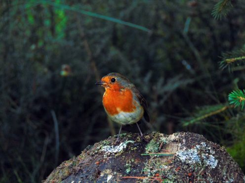 A robin near Deeside Way, between Potarch and Banchory. Photograph: Jean Robertson, Tarland