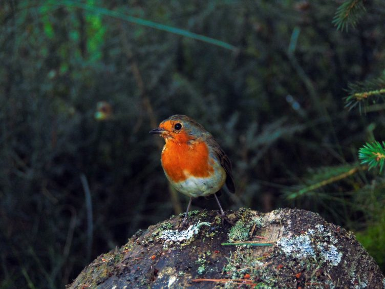A robin near Deeside Way, between Potarch and Banchory. Photograph: Jean Robertson, Tarland