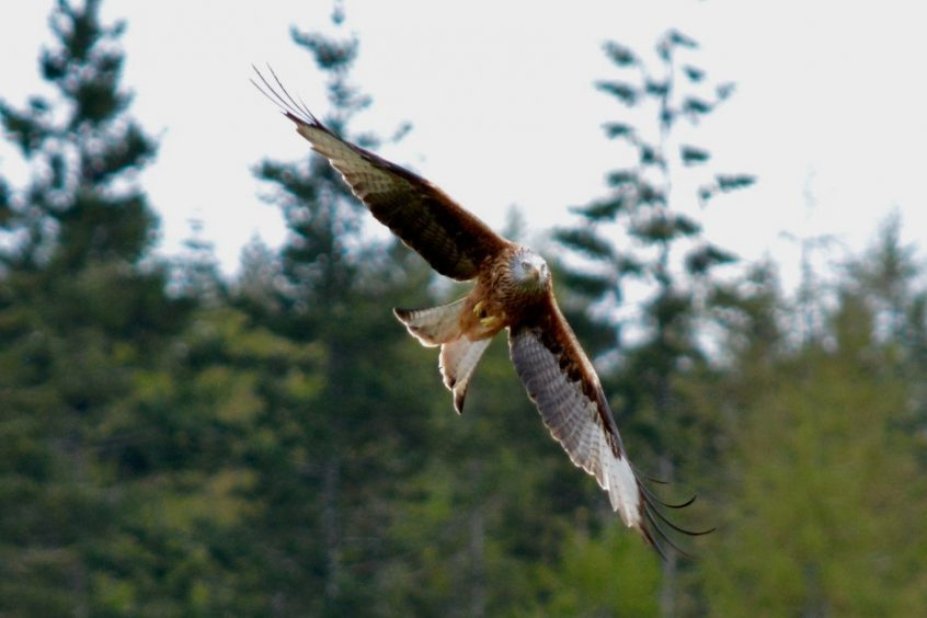 A red kite at Strathpeffer in Easter Ross. Picture courtesy of reader Hazel Thomson