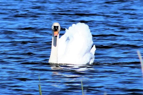 Swan on Spynie Loch, near Elgin. Picture courtesy of reader Mairi Innes, Huntly
