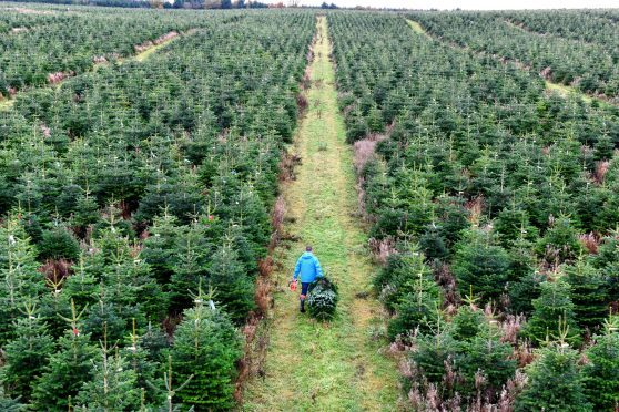the first of quarter of a million real christmas trees destined for sale in bq stores across the uk are cut by grower magnus sinclair in ellon