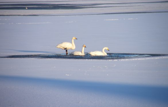 Whooper swans on Loch an Tiumpan, Lewis. Picture courtesy of Ronnie MacAlpine of Lewis