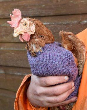 One hen models her custom made sweater