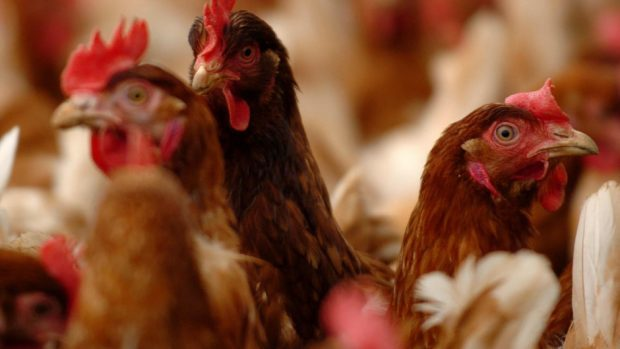 Poultry red mite is estimated to cost the industry more than £200m every year.