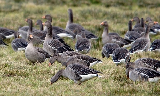Crofters reported problems with geese.