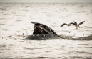 A humpback feeding off the coast of Newburgh. Photograph courtesy of Eilidh Watson
