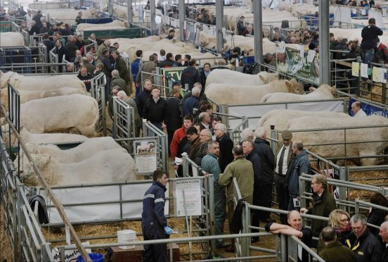Buyers inspect the Charolais bulls ahead of the sale