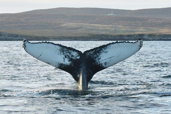 The gentle giant was captured raising its tail flukes  off Shetland by photographer Brydon Thomason
