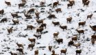 A large group of stags were captured by Allan Brown from Kirkcaldy, Fife, as they took shelter in a valley near Glenshee,