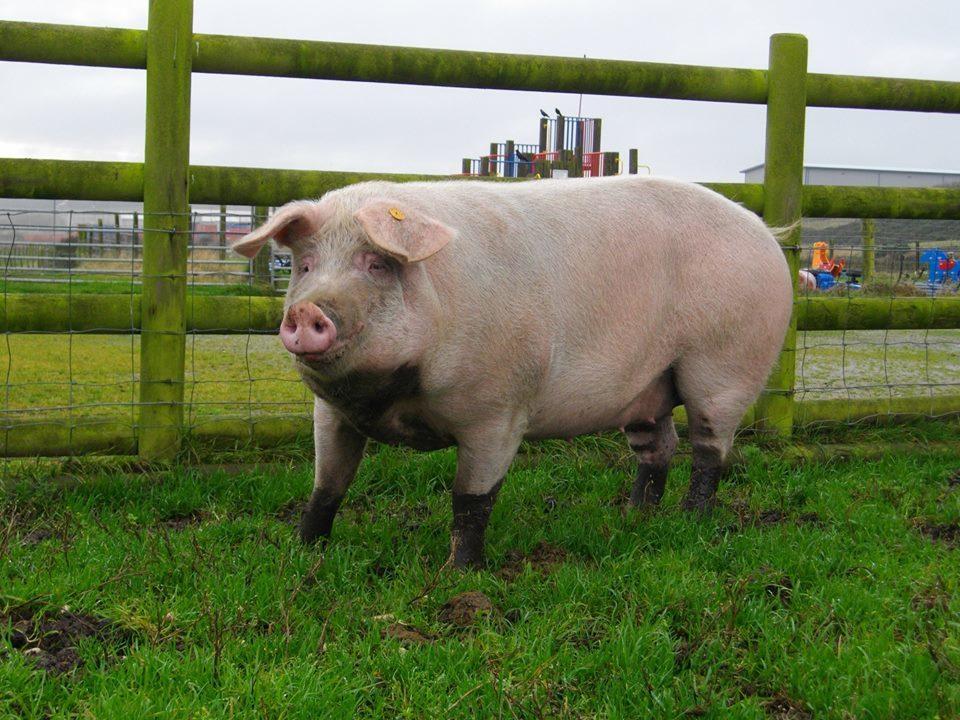 Doonies Pig