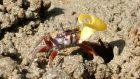 A male banana fiddler crab waving its brightly coloured major claw as it tries to attract a female partner (Anglia Ruskin University/PA Wire)