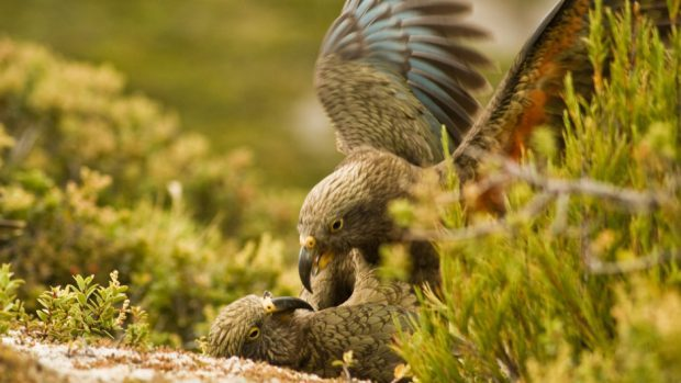 Two juvenile kea parrots playing on the ground (Raoul Schwing/PA)