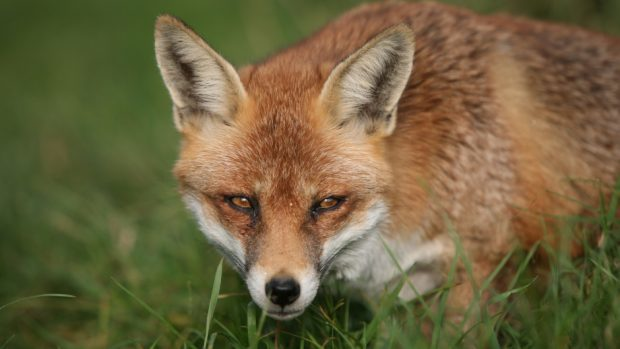 Animal welfare officers have warned foxes can be killed by snares which are illegally set