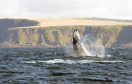 A humpback breaching off the coast of Banff in the Moray Firth