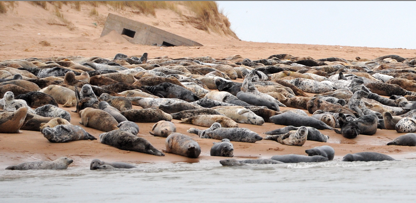 The seals at the mouth of the River Ythan.