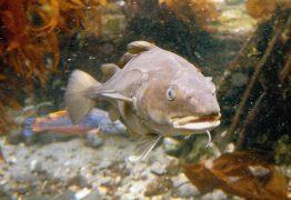 underwater-cod