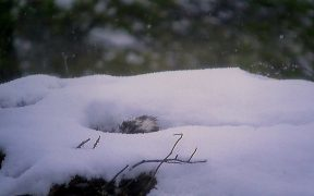 EJ the osprey incubating her eggs amid persistent snow
