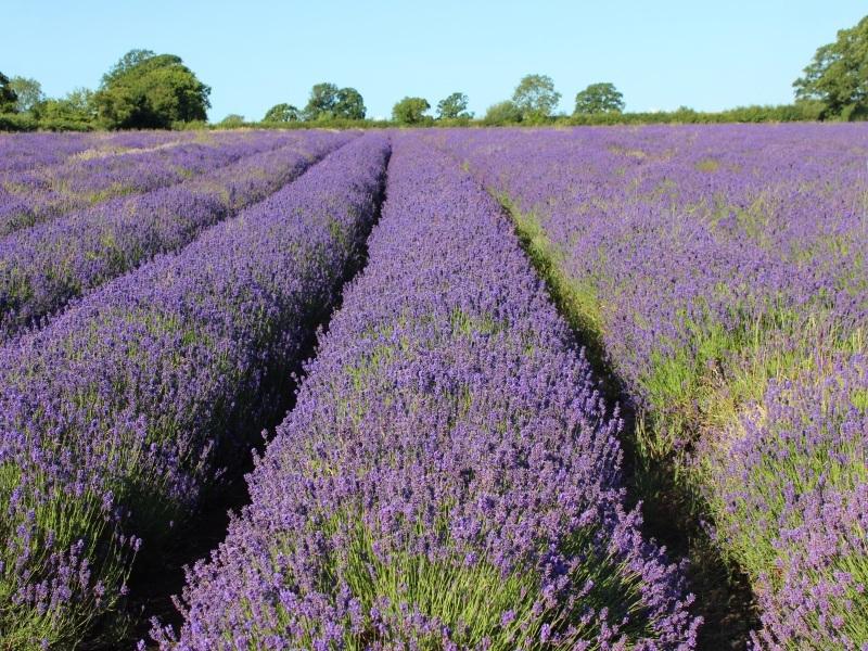 Jersey - Lavender Farm