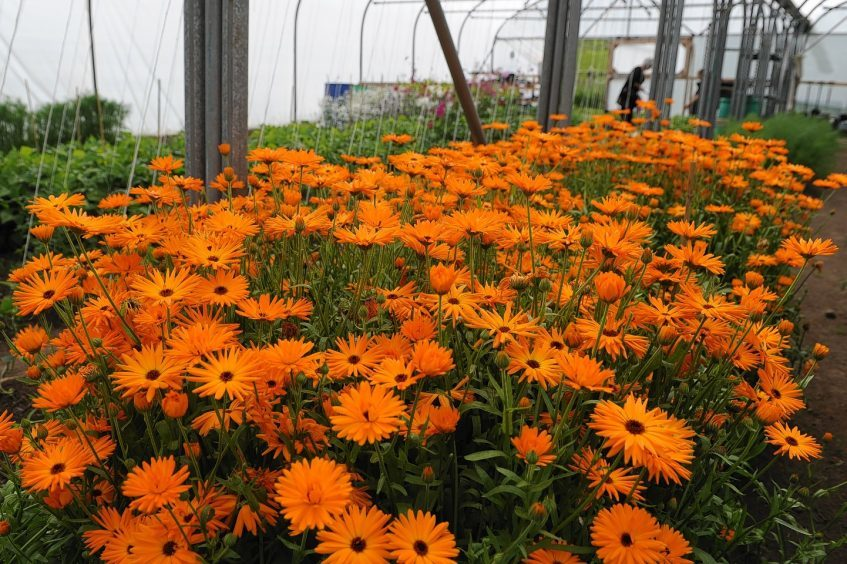 Some Marigold flowers being grown at Meadowsweet Organics