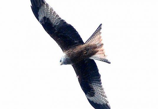 Red-kites-black-Isle