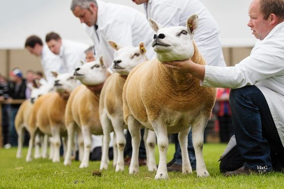 More than 2,000 sheep are entered to compete at the four-day show
