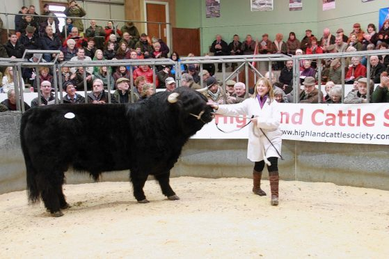The mart at Oban stages pedigree Highland cattle sales.