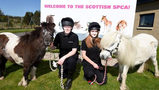 Two shetland ponies who are looking for new homes, at Scottish SPCA centre Drumoak