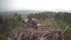 The osprey feeding its chicks was captured on webcam