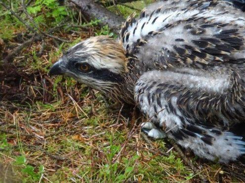 An osprey chick