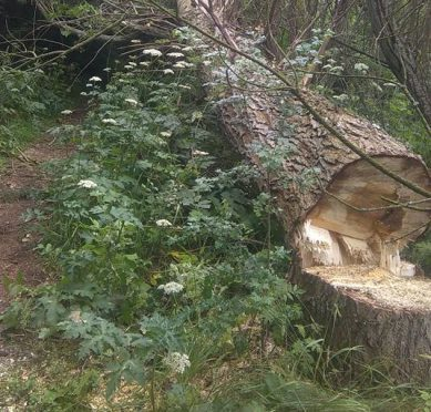 The largest of the trees was cut down and is now blocking the path