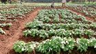 Some of the potato trials in Kenya.