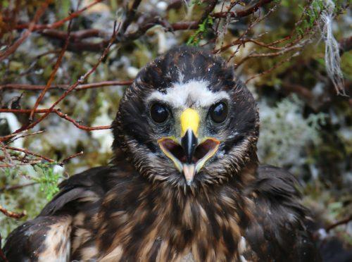 Calluna, the missing hen harrier. (Picture: RSPB Scotland)