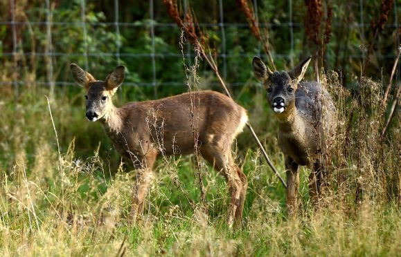 A deer in Ellon Picture by Jim Irvine