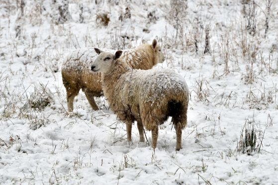 More than 30 lambs were killed in the incident.