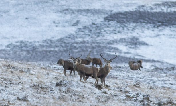 Stags in the Cairngorms.