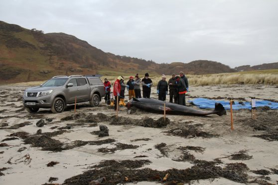 A long-finned pilot whale died after becoming stranded in Mull last month