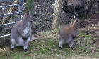 Wallabies arrive for new life in Shetland