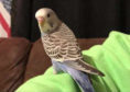 Buddy the budgie reunited with owner after vanishing from its Banff home