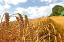 Scientists warn wheat and barley are at risk from stem rust.