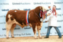 Islavale Hugo stood overall champion in the Simmental section.