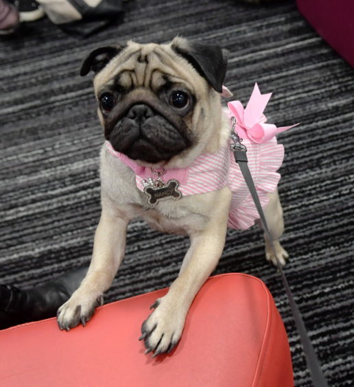 Legally Blonde dog auditions at the Bon Accord Centre. Pictured is Nancy. 15/02/18. Picture by KATH FLANNERY