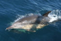 Common dolphin sightings reach an all time high