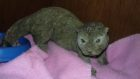 Scotland's animal welfare charity was alerted to the 12 inch long 'lizard' on Tuesday when the owner was checking on her feline.