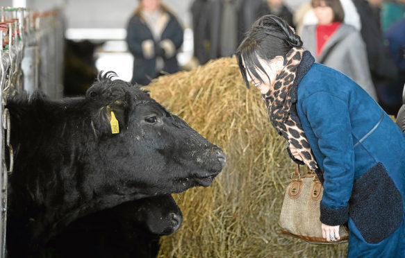 One of the Japanese meet buyers greets an Aberdeen-Angus cow
