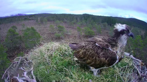 EJ the Osprey reruns to Loch Garten for her 15th breeding season.
