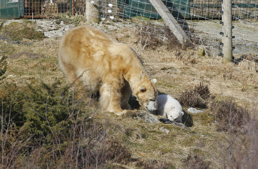 Victoria the polar bear and her new cub seen their outdoor enclosure at Highland Wildlife Park for the first time.