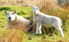 SUSSS pays money based on ewe hoggs kept as breeding replacements