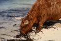This Highland cow took a trip down to Clachtoll beach.