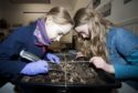 Martha Kenyon-Smith and Violet Irvine investigate what is in their trench.     Photo by Michael Traill 9 South Road Rhynie Huntly AB54 4GA  Contact numbers Mob07739 38 4792 Home01464 861425