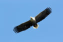 A pair of white-tailed eagles, Britain's largest birds of prey, nests adjacent to the golf course and helps keep the golf course clear of geese and rabbits.